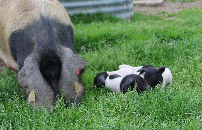 kintoa-porc basque-oteiza-aldudes