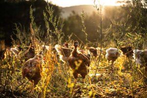 aldabia-poulet-nature