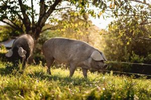 porc-gascon-noir-champ-cochon