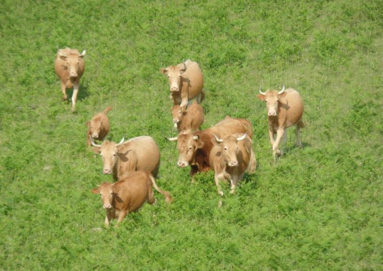 balade-nature-vache-pays-basque