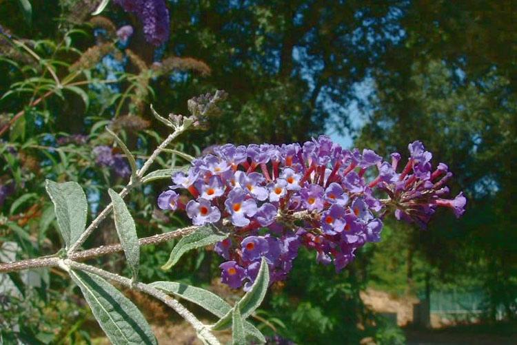 buddleia du pere david plante exotique pays basque
